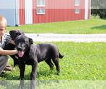 Small #2 Akita-Labrador Retriever Mix