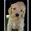 Goldendoodle Puppy For Sale in COLLBRAN, CO,
