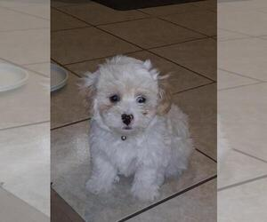 Maltese-Poodle (Standard) Mix Puppy for Sale in ONTARIO, California USA