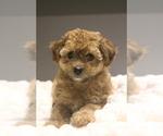 Puppy 2 Poodle (Miniature)-Yorkie-Poo Mix