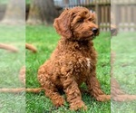Small #13 Australian Labradoodle