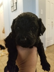Goldendoodle Puppy For Sale in SEBASTIAN, FL, USA