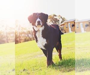 Bernese Mountain Dog Dog for Adoption in KARLSTAD, Minnesota USA