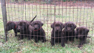 Labrador Retriever Puppy For Sale in KOUNTZE, TX