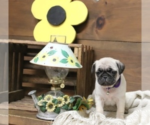 Pug Puppy for Sale in NEWMANSTOWN, Pennsylvania USA