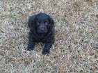 Boykin Spaniel Puppy For Sale in COCHRAN, GA, USA