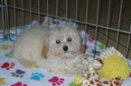 Poodle (Toy) Puppy For Sale in TUCSON, AZ,