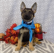 German Shepherd Dog Puppy For Sale in CHICAGO, IL,