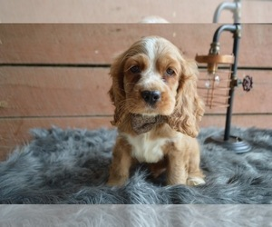 English Cocker Spaniel Puppy for sale in HONEY BROOK, PA, USA