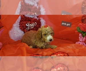 Poodle (Standard) Puppy for sale in FLOYDS KNOBS, IN, USA