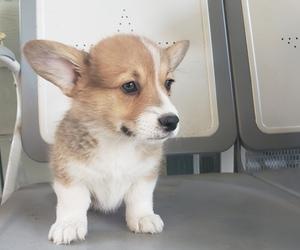 Pembroke Welsh Corgi Puppy for sale in SANTA SUSANA, CA, USA