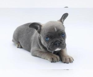 French Bulldog Puppy for sale in SAN FRANCISCO, CA, USA