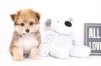 Wrigley Male Yo Chon Puppy