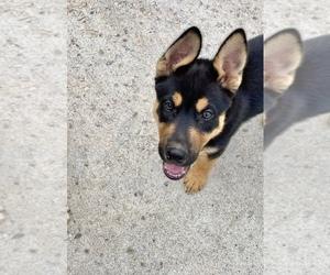 German Shepherd Dog-Siberian Husky Mix Puppy for sale in PLEASANT GROVE, UT, USA
