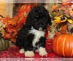 Puppy 3 Bernedoodle-Poodle (Miniature) Mix