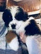 Australian Shepherd Puppy For Sale in BECKLEY, WV, USA