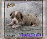 Small Photo #4 Miniature Australian Shepherd Puppy For Sale in FORESTBURG, TX, USA