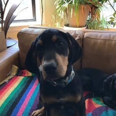 Transylvanian Hound Puppy For Sale in CHICAGO, IL