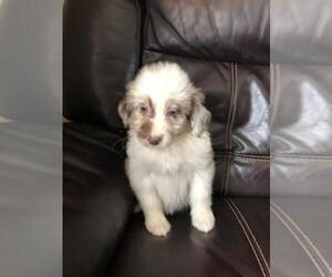 Aussie-Poo Puppy for sale in FINLAYSON, MN, USA