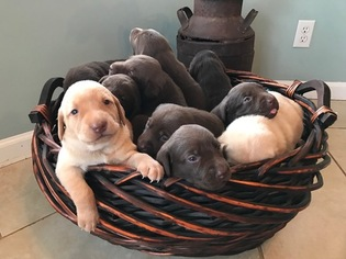 Labrador Retriever Puppy For Sale in PORTLAND, TN
