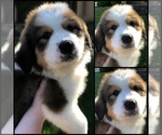 Puppy 10 Great Bernese
