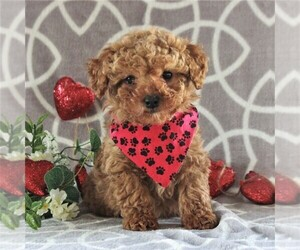 Cavachon-Poodle (Miniature) Mix Puppy for sale in GORDONVILLE, PA, USA