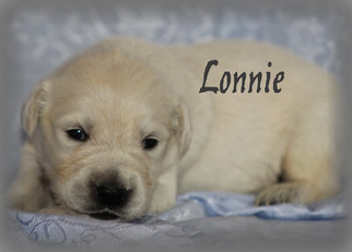 Golden Retriever Puppy For Sale in STANLEY, WI, USA