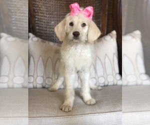 Labradoodle Puppy for sale in JEWETT, TX, USA