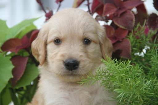 View Ad: Golden Retriever Puppy for Sale, In Denmark