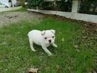 French Bulldog Puppy For Sale near 91350, Santa Clarita, CA, USA