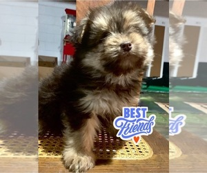 Yoranian Puppy for sale in MOUNT CLEMENS, MI, USA