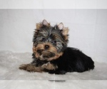 Image preview for Ad Listing. Nickname: Yorkie mini