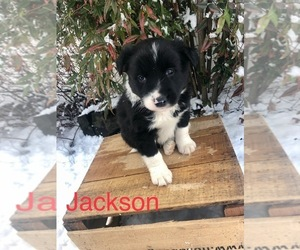 Border Collie Puppy for Sale in MOUNT CRAWFORD, Virginia USA