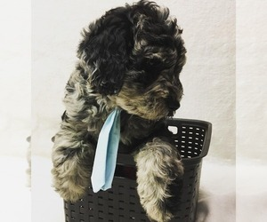 Labradoodle Puppy for Sale in COLCHESTER, Connecticut USA