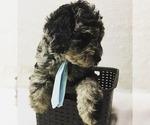 Puppy 0 Labradoodle