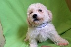Bichon Frise Puppy For Sale in PATERSON, NJ