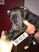 Great Dane Puppy For Sale in TONOPAH, NV