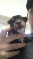 Yorkshire Terrier Puppy For Sale in MATTHEWS, GA