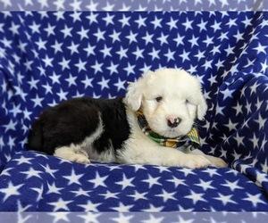 Old English Sheepdog Dog for Adoption in CHRISTIANA, Pennsylvania USA