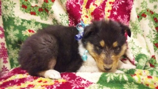 Collie Puppy For Sale in DELTA, CO