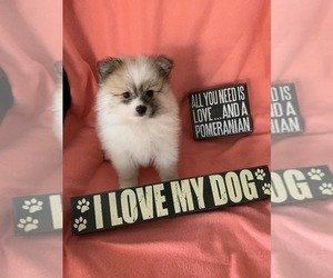 Pomeranian Puppy for sale in OMAHA, NE, USA