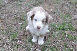 view ad miniature australian shepherd puppy for sale kansas kansas city usa. Black Bedroom Furniture Sets. Home Design Ideas