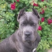 Cane Corso Puppy For Sale in CLAXTON, GA, USA