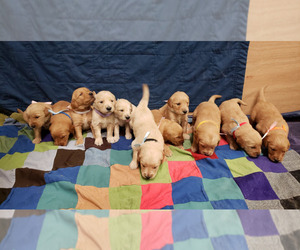 Golden Retriever Puppy for Sale in PIERRE, South Dakota USA