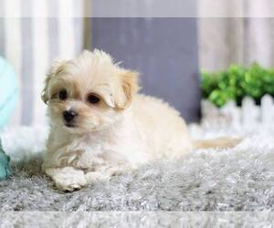 Medium Maltipoo Mix
