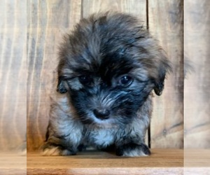Mal-Shi Puppy for sale in PINK HILL, NC, USA