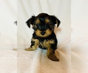 Yorkshire Terrier Puppy for sale in KAUKAUNA, WI, USA