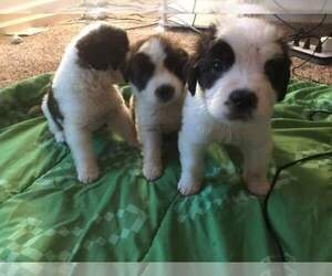 Saint Bernard Puppy for sale in FAYETTEVILLE, NC, USA