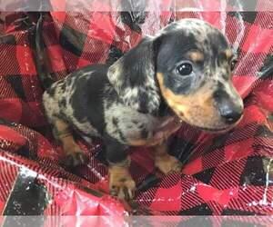 Dachshund Puppy for sale in BRISTOW, OK, USA