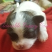Mal-Shi-Maltese Mix Puppy For Sale in ATHENS, AL, USA